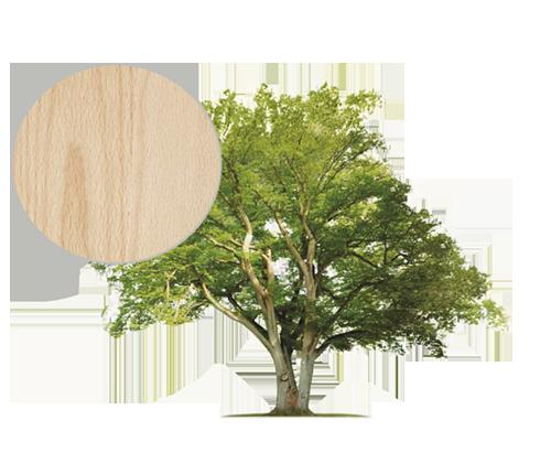 Drzewo buk