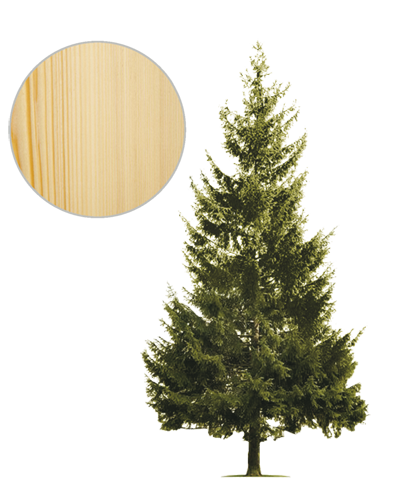 Drzewo jodła
