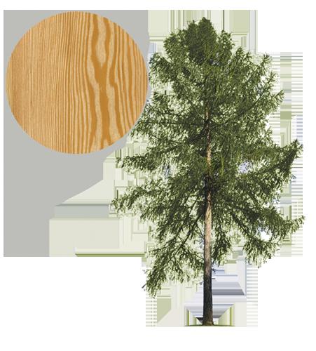 Drzewo modrzew