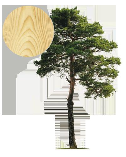 Drzewo sosna