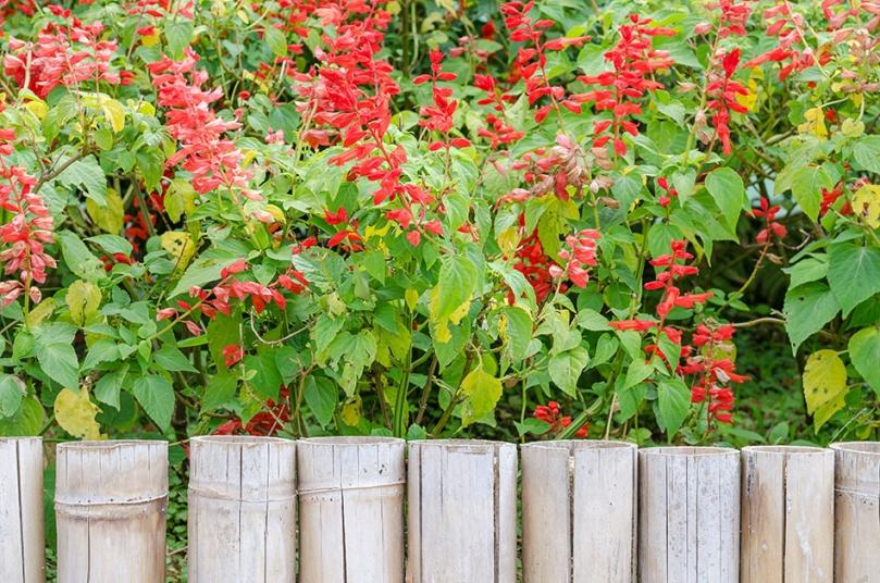 Jasna palisada iczerwone kwiaty