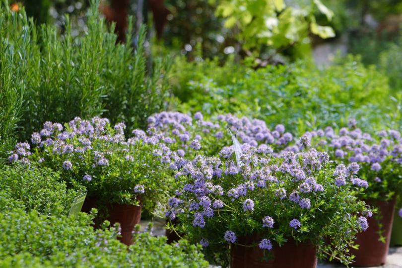 Rośliny kwitnące do śródziemnomorskiego ogrodu