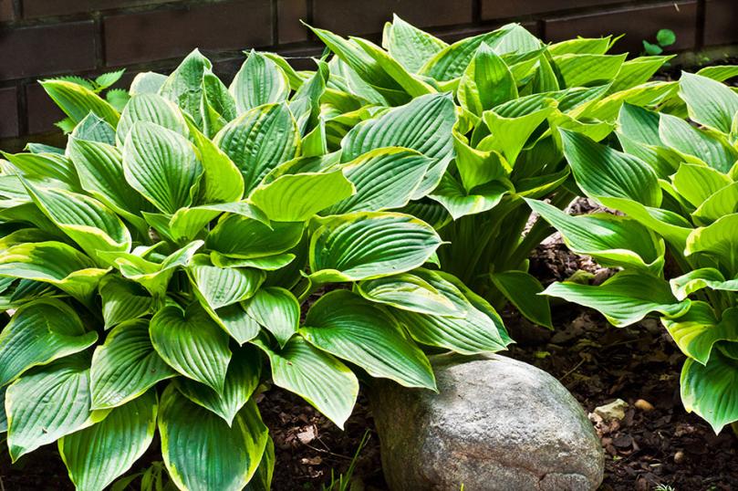 Popularne rośliny cionolubne do ogrodu