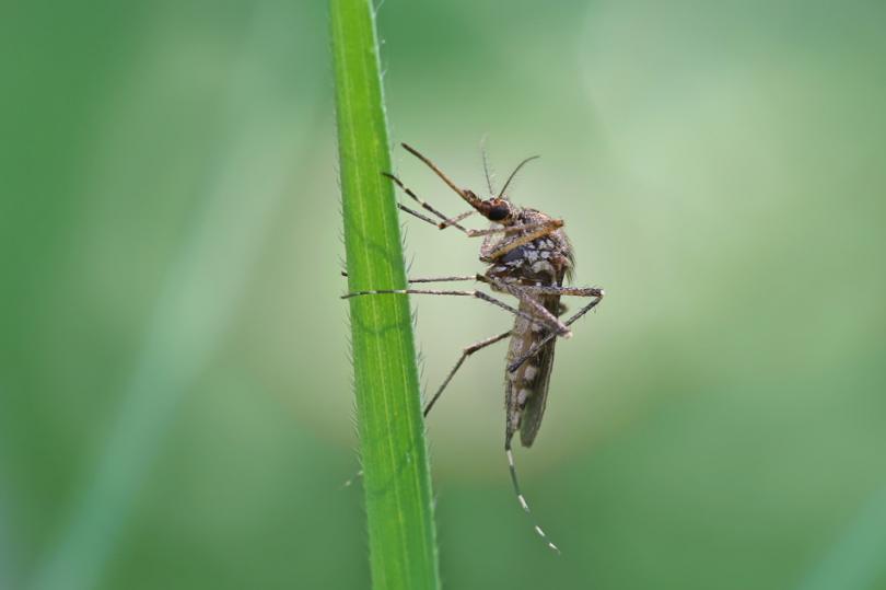 Komar siedzący na roślinie