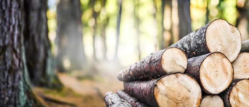 Ścięte drewno wlesie